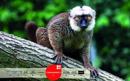 Serengeti-Park animals: White-fronted lemur