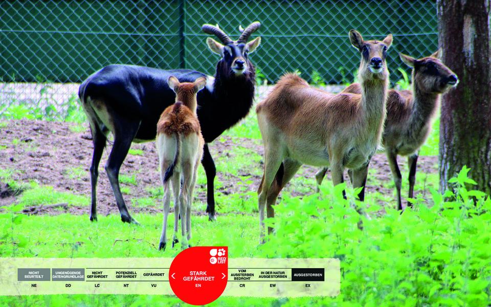 Wildtiere im Serengeti-Park: Weißnackenmoorantilope
