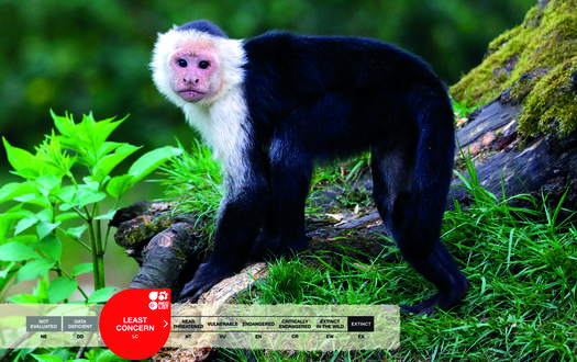 Serengeti-Park animals: White-shouldered Capuchin