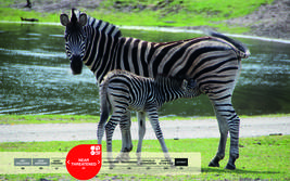 Serengeti-Park animals: Zebra