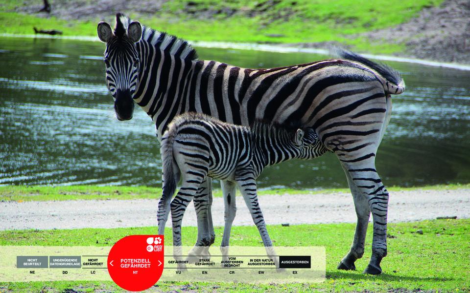 Wildtiere im Serengeti-Park: Zebra