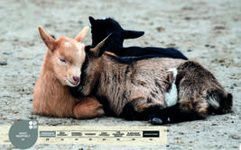 Wildtiere im Serengeti-Park: Ziege