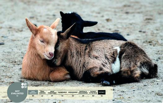 Serengeti-Park animals: Domestic goat