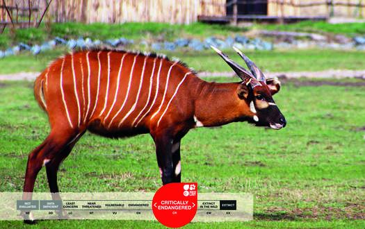 Serengeti-Park animals: East African Bongo