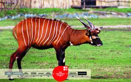 Wildtiere im Serengeti-Park: Ostafrikansicher Bongo