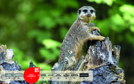 Wildtiere im Serengeti-Park: Erdmännchen