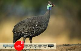 Wildtiere im Serengeti-Park: Helmperlhuhn