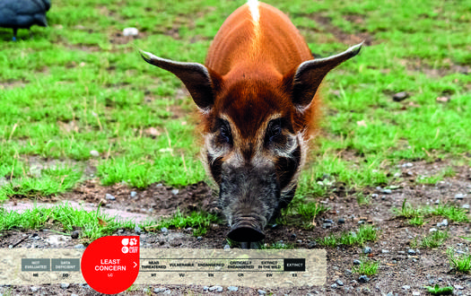 Serengeti-Park animals: Red River Hog