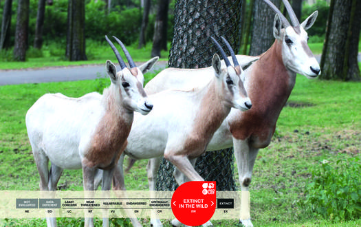 Serengeti-Park animals: Scimitar-horned Oryx