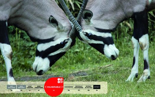 Serengeti-Park animals: Gemsbock