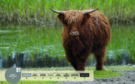 Wildtiere im Serengeti-Park: Schottisches Hochlandrind