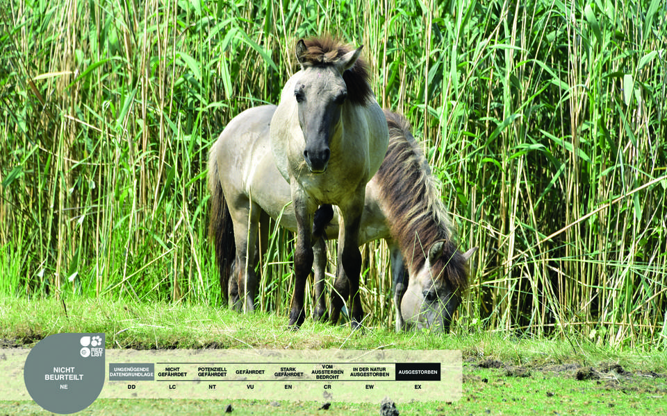 Wildtiere im Serengeti-Park: Tarpan