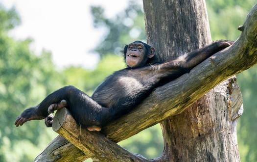 Schimpanse im Serengeti-Park Hodenhagen