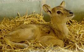 Weißnackenmoorantilope im Serengeti-Park geboren