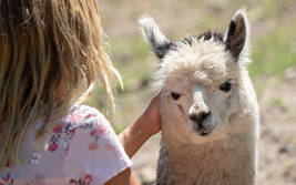 Streichel-Safari (Alpaka)