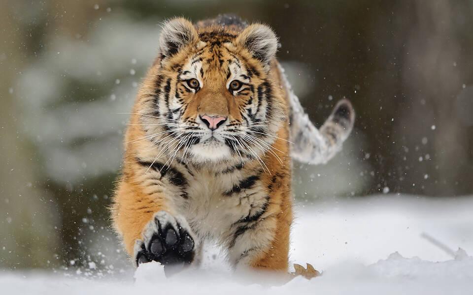 Sibirische Tiger neu im Serengeti-Park