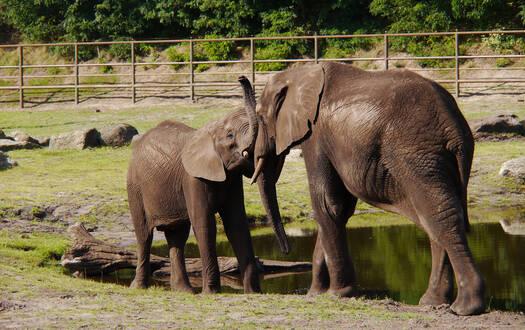 Serengeti-Park Erwachsenenführung Bedrohte Graue Riesen