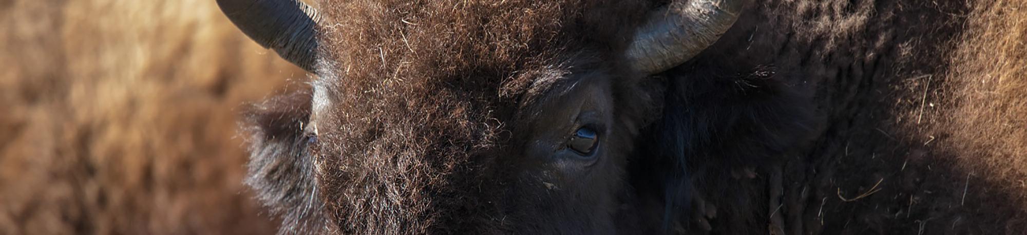 Bison im Serengeti-Park